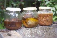 noni fermenting