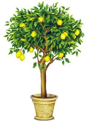 citrus limon en pot
