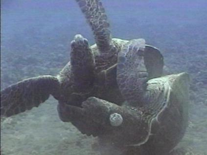 Sea Turtle Sex